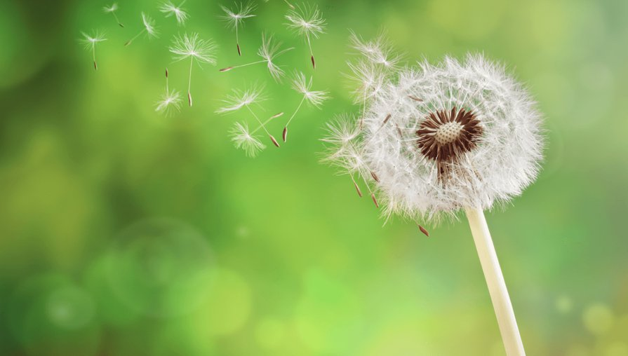 dandelion blowing in the wind against green grass