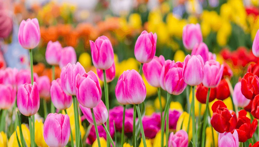 pink, red and yellow tulips in  field of flowers